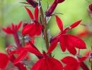 Цветочки лобелии