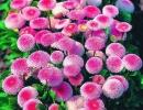Маргаритки, фото цветов