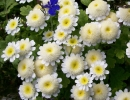 Цветы матрикарии