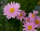 Розовая матрикария