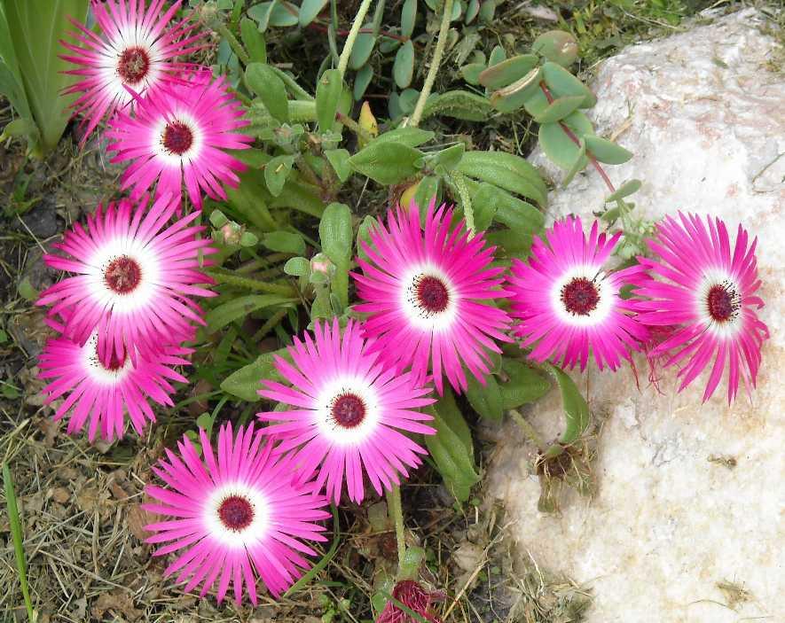 мезембриантемум фото цветы звоните, много
