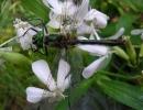 Стрекоза на цветке мыльнянки
