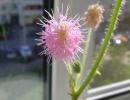 Цветок домашняя мимоза стыдливая фото