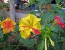 Двухцветный мирабилис
