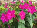 Розовый мирабилис