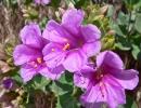 Цветущий мирабилис