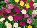 Разноцветный мирабилис