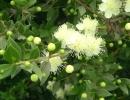 Мирт цветет