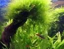 Мох яванский в аквариуме