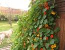 Фото. Цветы Настурция