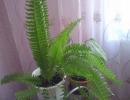 Нефролепис комнатное растение