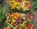 Цветы немезии