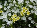 Цветы Немофила
