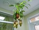 Фото. Хищное растение непентес