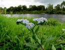 Незабудка болотная (Myosotis palustris)