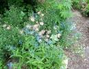 Незабудка расставленноцветковая (Myosotis dissitiflora)