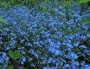 Фото. Цветы незабудки
