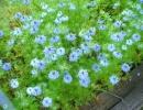 Цветы Нигелла