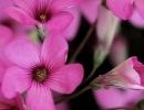 Цветки обриеты