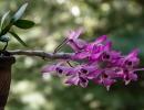 Дендробиум Париша (Dendrobium parishii)