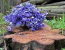 Куст печеночницы в саду