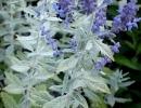 Перовския лебедолистная Silvery Blue