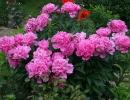 Молочноцветковый пион