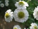 Цветы пиретрума