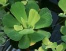 Аквариумное растение Пистия