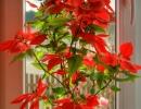 Пуансетия растение