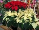Растение пуансетия