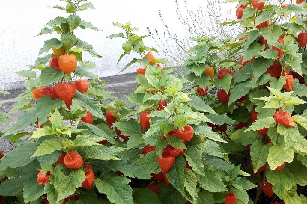 декоративный физалис выращивание и уход