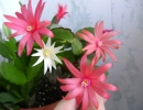 Рипсалидопсис цветок