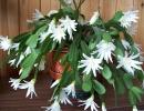 Фото растения. Рипсалидопсис