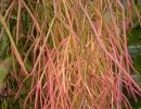 Кактус рипсалис вид Барчела (Rhipsalis burchellii)