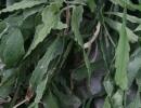 Кактус рипсалис вид Рипсалис Гобелиана (Rhipsalis goebeliana)