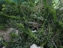 Кактус рипсалис вид Мезембриантовидный (Rhipsalis mesembryanthemoides)