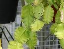 Кактус рипсалис вид Кудрявый (Rhipsalis crispata)