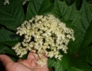 Цветок роджерсии стополистной