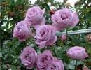Фото. Розы Блю Мун