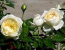 Розы Чайковский