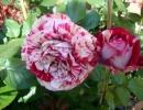 Роза Фердинанд Пичард