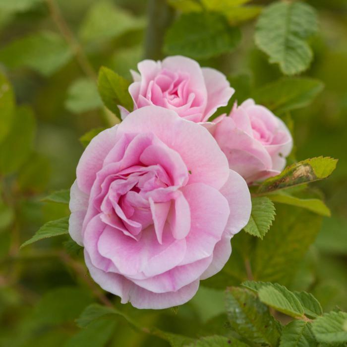 канадская роза посадка и уход фото