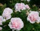 Роза мартин фробишер канадская парковая