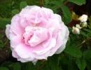 Фото. Роза мартин фробишер канадская парковая