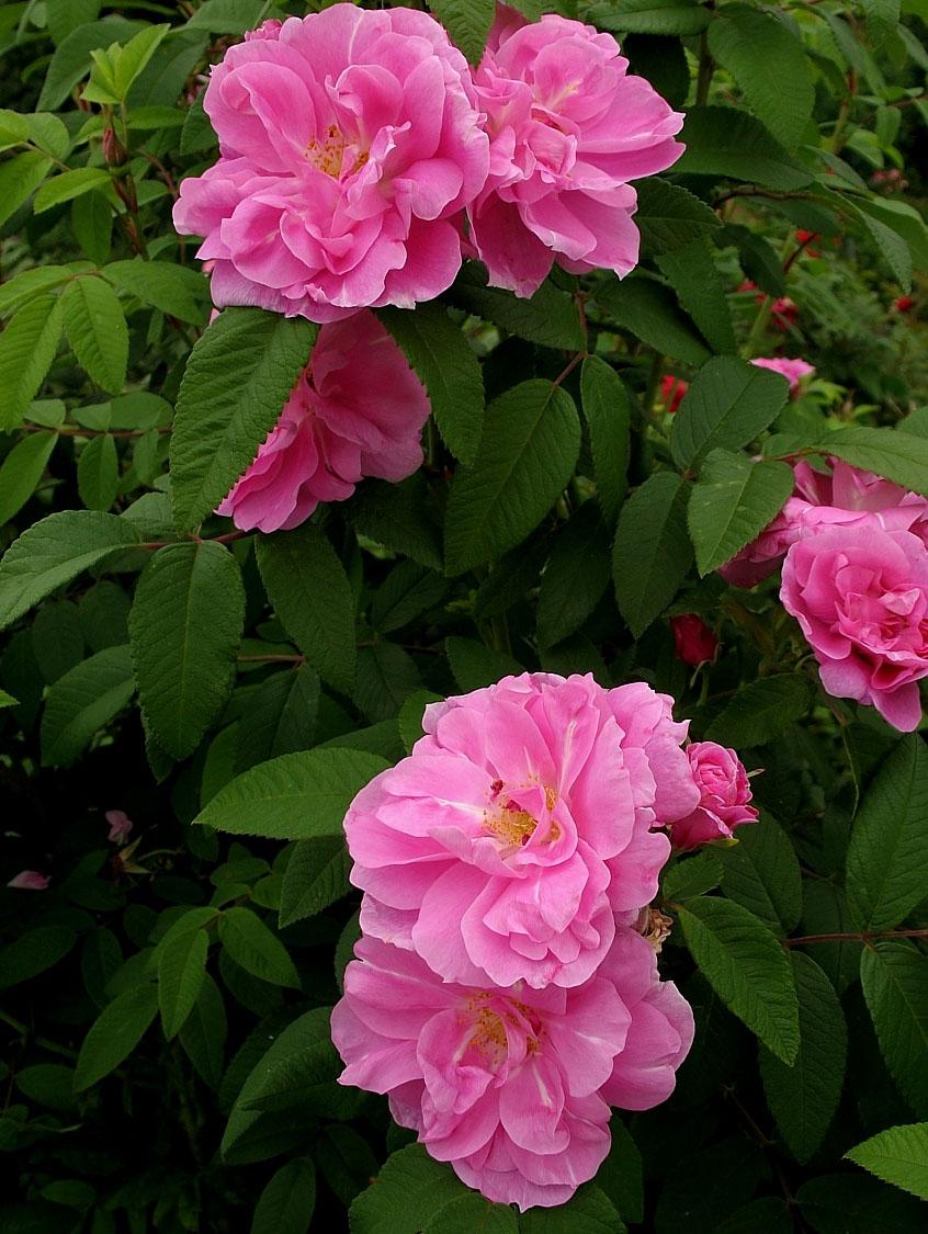 Роза парковая розовая фото и описание