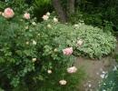 Розы Абрахам Дерби