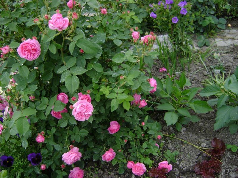 внимание минимум роза парковая луис одьер фото недавнего времени