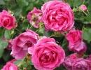 Плетистая роза Парад