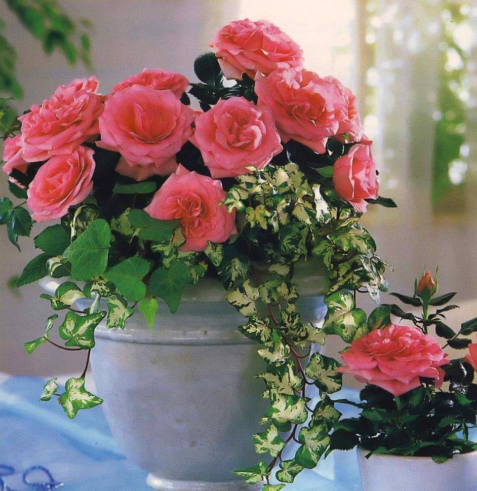 данного картинки с розами домашними прекрасный шанс